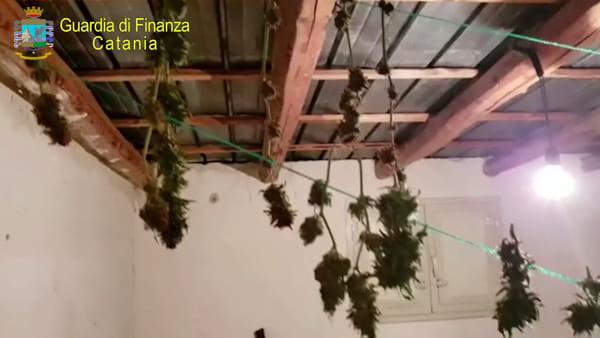 """Sequestrata piantagione di """"skunk"""", l'irruzione dei finanzieri"""